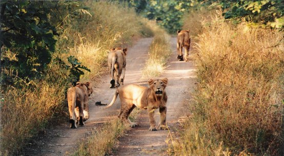 Best Time to Visit Gir Forest National Park and Wildlife Sanctuary in Junagadh Gujarat