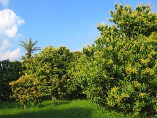 Gopal Mango Farm – Jumbo Kesar Mango Supplier Dealer Exporter from Surat Gujarat INDIA